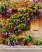 Wisteria On Wall Prints - Wisteria on Home in Zellenberg 4 Print by Greg Matchick