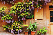 Wisteria In Bloom Framed Prints - Wisteria On Home in Zellenberg France Framed Print by Greg Matchick