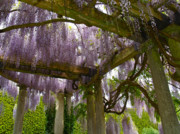 Wisteria Framed Prints - Wisteria Pergola at Exbury Gardens in Hampshire Framed Print by Alex Cassels