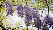 Woody Vine Prints - Wisteria Row Print by Teresa Mucha