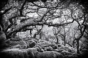 Haunted Woods Framed Prints - Wistmans Wood Dartmoor Devon  Framed Print by Tim Gainey