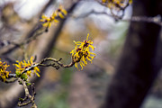 Gardening Photography Posters - Witch Hazel - VanDusen Botanical Garden Poster by May L
