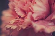 Carnations Photos - With a Fluttering Heart by Laurie Search