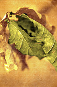 Aging Originals - Withered leaf and text in latin by Tommy Hammarsten