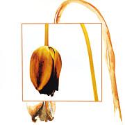 Withered Tulip Flower. Vintage-look Print by Bernard Jaubert