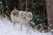 Bill Keeting - Wolf Alpha Female YNP