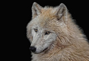 Canidae Photos - Wolf Bride by Joachim G Pinkawa
