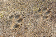 Animal Paw Print Posters - Wolf Canis lupus foot prints in soft mud Poster by Stephan Pietzko