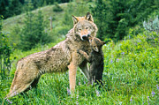 Judi Baker - Wolf Cub and Mother