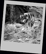 Wolves Photos - Wolf by Ernie Echols