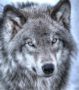 Joshua Mccullough Photography Prints - Wolf Eyes Print by Joshua McCullough