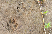 Animal Paw Print Posters - Wolf foot prints in soft mud and willow leaves Poster by Stephan Pietzko