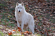 Timber Wolf Photos - Wolf in Autumn by Sandy Keeton