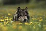Wolf Photos - Wolf in Dandelions by Robert Weiman