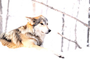 Wolves Photos - Wolf In White by Emily Stauring