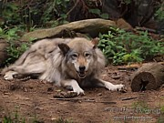 Timber Wolf Photos - Wolf Resting by Frank Piercy