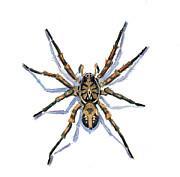 Wolf Spider Print by Katherine Miller