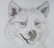 Husky Drawings Prints - Wolf The Husky Print by Sandra Muirhead
