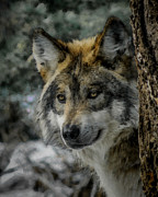 Wolf Upclose Painterly Print by Ernie Echols