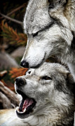 Attack Dog Photos - Wolf Whispers by Steve McKinzie