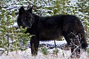 Bill Keeting - Wolf Yearling YNP
