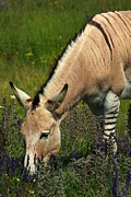 Paul Wash Art - Wolfe Island Zonkey by Paul Wash