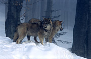 Landscape Photographs Photos - Wolves  by Anonymous