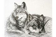 Pack Animal Drawings Posters - Wolves at Rest Poster by Sheri Marean