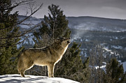 Wolves Nature Song Print by Robert Weiman
