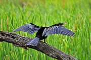 Anhinga Framed Prints - Wonderful Wings Framed Print by Al Powell Photography USA