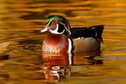 Wood Duck Prints - Wood-drake on the golden light Print by Mircea Costina Photography