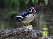 Amber Bobbitt - Wood Duck
