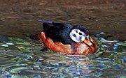 Cheryl Cencich - Wood Duck