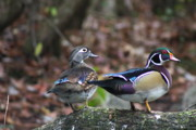 Duck Couple Posters - Wood Duck Couple Poster by Christiane Schulze