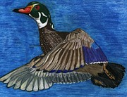 North American Wildlife Drawings Posters - Wood Duck Poster by Don  Gallacher