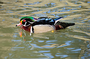 James Lewis Prints - Wood Duck Drake  Print by James Lewis