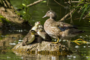 Mother Goose Photo Posters - Wood Duck Family Poster by Mircea Costina Photography