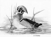 Swim Drawings - Wood Duck in Pond by Sarah Batalka