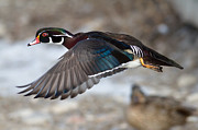 Jim Nelson - Wood Duck