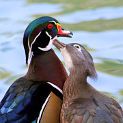 Portrait Pyrography Prints - Wood Duck Love Print by Bob and Jan Shriner