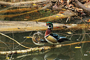 Glenn Wood Framed Prints - Wood Duck Pair Framed Print by Ann Hernandez