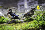 Tim Moore - Wood Duck Pair