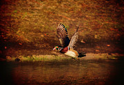 Deborah Benoit Framed Prints - Wood Duck Taking Off Framed Print by Deborah Benoit