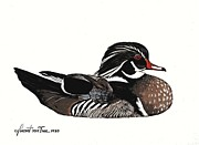 Waterfowl Drawings Framed Prints - Wood Duck  Framed Print by Von Frese