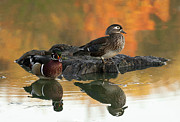 Wood Duck Prints - Wood Ducks Print by Dale Kincaid