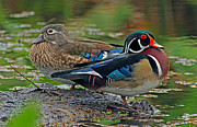 Larry Nieland - Wood ducks He and She
