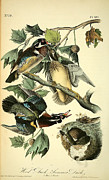 Ducks Paintings - Wood Ducks by John James Audubon