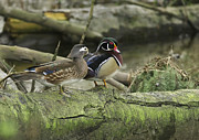 Perching Framed Prints - Wood Ducks on Log 4 Framed Print by Sharon  Talson