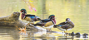 Wood Duck Prints - Wood-ducks panorama Print by Mircea Costina Photography