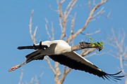 Natural Focal Point Photography - Wood Stork in Flight